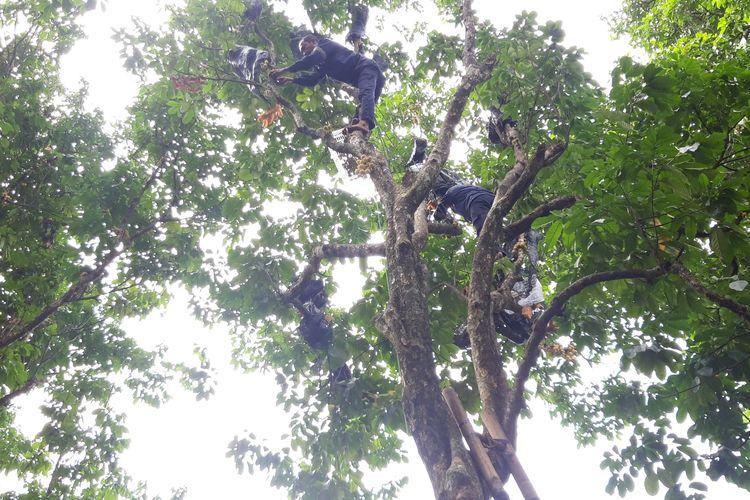 Pohon duku berusia 100 tahun di Cagar Buah Condet