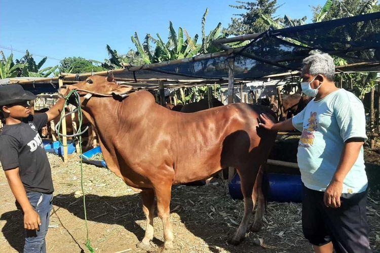 Penjual hewan kurban di Jalan Ketintang Baru Selatan Surabaya menunjukkan sapi Madura yang dijualnya.