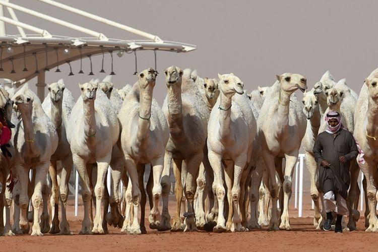 Seorang pria memimpin kawanan unta selama kontes kecantikan, di Festival Camai Raja Abdulaziz yang diselenggarakan secara tahunan di Rumah, sekitar 160 kilometer timur Riyadh, Arab Saudi, Jumat (19/1/2018). (AFP/Fayez Nureldine)