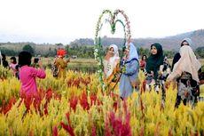 Indahnya Taman Bunga Celosia di Yuranata Garden