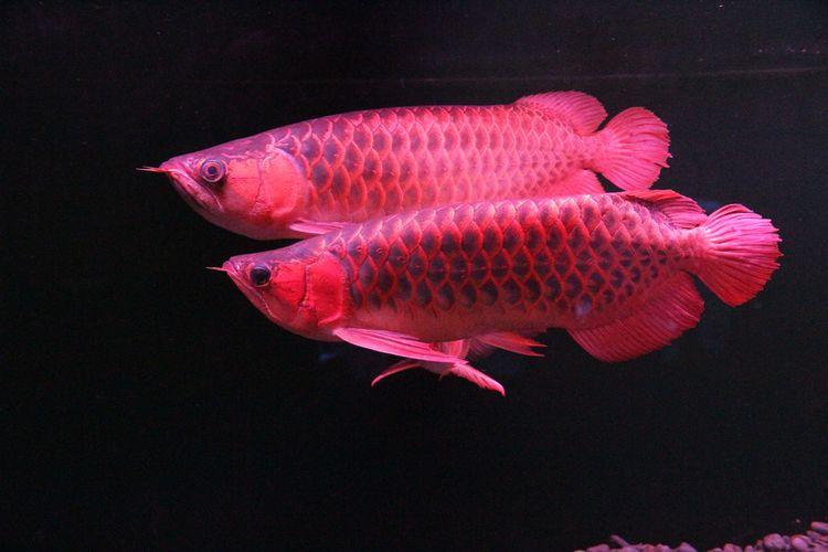 Arwana super red alias silok merah (Scleropages formosus).