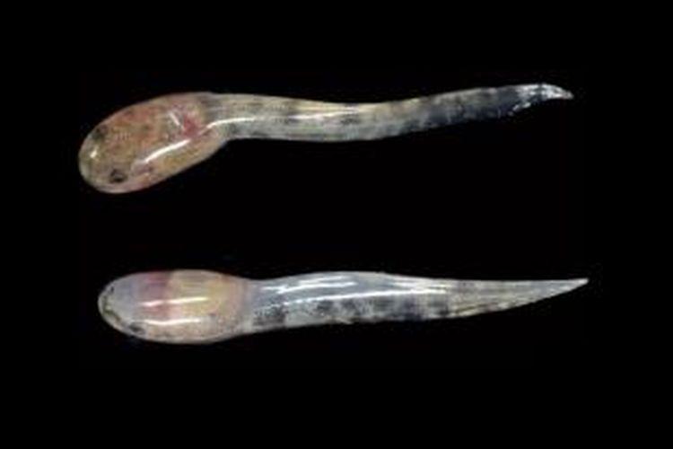 Kecebong katak Limnonectes larvaepartus, berukuran sekitar 1,5 cm.