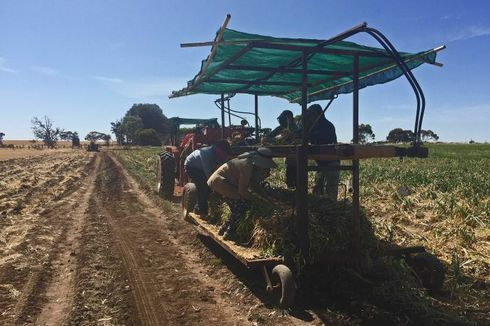 Pekerja Gelap Tak Diampuni, Bagaimana Nasib Pertanian Australia?