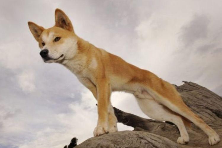Anjing liar Australia atau dingo di Dingo Discovery and Research Centre di Toolern Vale di Victoria, Australia, pada 25 Mei 2009. (AFP/William West)