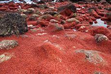 Migrasi Kepiting di Pulau Christmas, Buat Jalanan Seperti Red Carpet