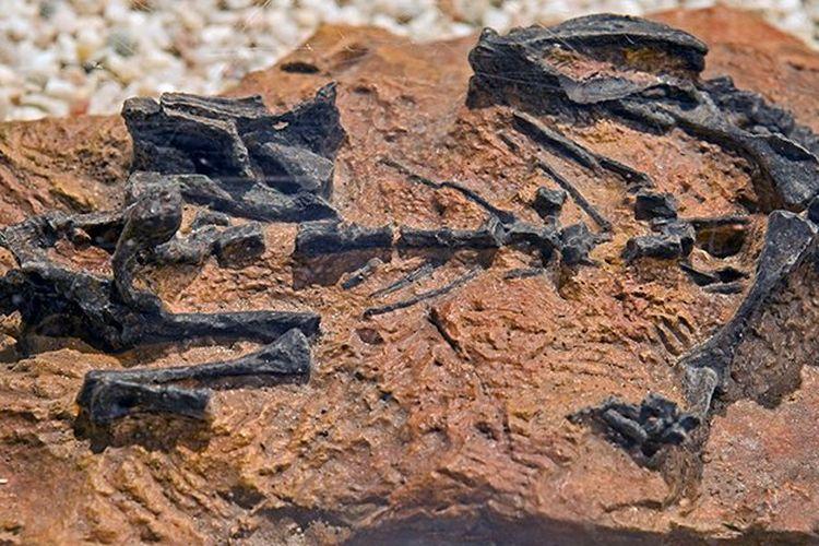 Fosil Mussaurus patagonicus.