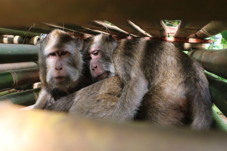 Koboi (50) salah satu warga tim Suku Baduy Banten menunjukan kandang sementara yang berisi monyet ekor panjang di Desa Cibeureum Kecamatan Cilimus Kabupaten Kuningan Jawa Barat, Selasa (21/1/2020).