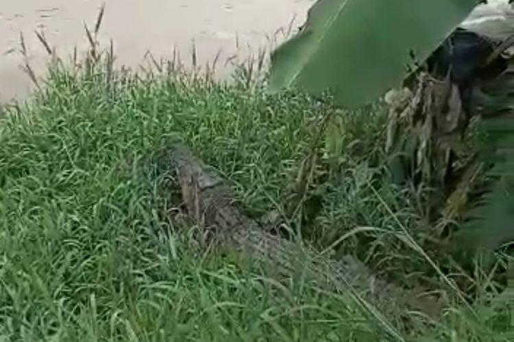 Tangkapan layar video buaya terlepas dan berkeliaran di Sungai Cisadane.
