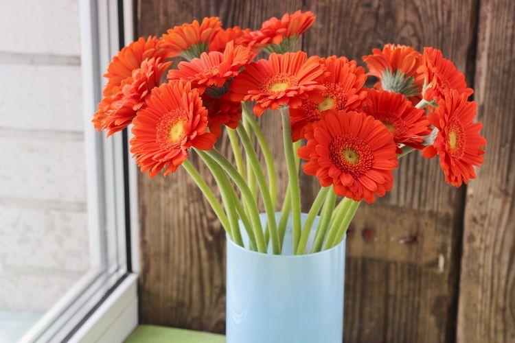Ilustrasi gerbera daisy.