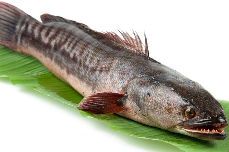 Ikan gabus memiliki berbagai manfaat kesehatan