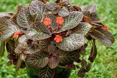 Tips Merawat Bunga Episcia agar Tumbuh Rimbun dan Sehat