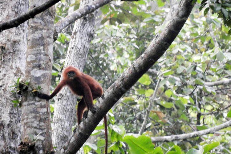 Primata di Kawasan Ekosistem Esensial (KEE) Wehea-Kelay, Kalimantan Timur.