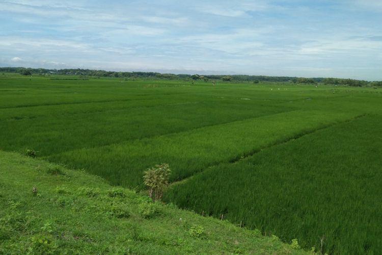 Pemandangan tumbuhan padi yang belum dipanen.