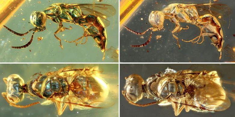 Serangga purba di dalam fosil damar dari 99 juta tahun yang lalu. Para peneliti di Nanjing Institute of Geology and Palaeontology of the Chinese Academy of Science (NIGPAS) menunjukkan warna pada serangga purba masih awet.