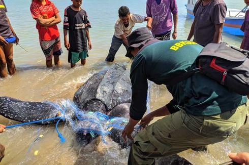 Warga Selamatkan Penyu Belimbing yang Tersangkut Pukat Nelayan di Teluk Kupang