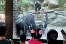 Sepasang Gorila Melakukan Seks Oral, Pengunjung Kebun Binatang Terkaget-kaget