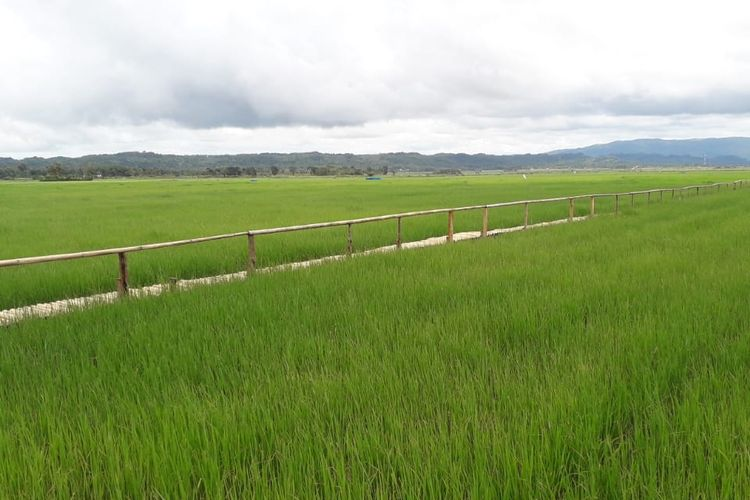 BPS merilis adanya potensi peningkatan produksi padi pada tahun 2021 sebesar 4,86 juta hektar.