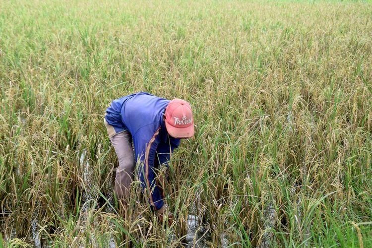 Sekitar 70 hektar sawah di Lingkungan Wanajati, Kelurahan Tampuna, Kecamatan Bungi, Kota Baubau Sulawesi Tenggara mengalami gagal panen. Hal ini disebabkan sawah tersebut diserang hama tikus sejak tanaman padi berumur tiga minggu hingga masa panen.