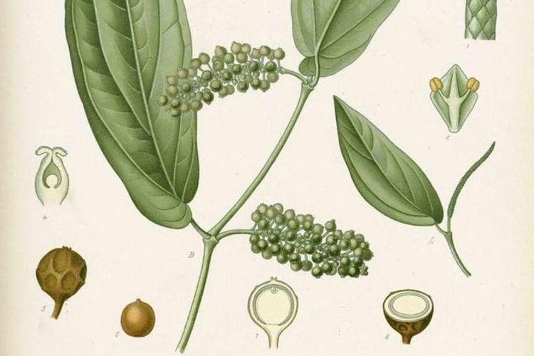 Lada Jawa (Piper cubeba L.) adalah spesies yang termasuk dalam famili Piperaceae. Tanaman ini tersebar luas dan dibudidayakan di Indonesia (terutama di Jawa dan Sumatera) tetapi juga di daerah tropis lainnya. Kegunaannya sebagai tanaman obat, bumbu, dan sumber minyak atsiri