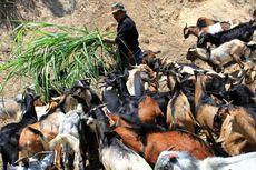 Suplai Hewan Kurban di Jateng Berlebih akibat Ternak Impor