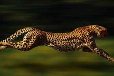 Benarkah Tubuh Cheetah Kepanasan jika Berlari Kencang?