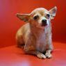 Berapa Lama Usia Hidup Anjing Chihuahua? Ini Penjelasannya
