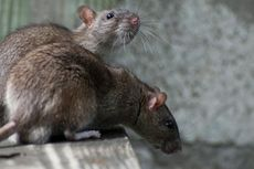 Lima Cara Cegah Tikus Berkeliaran di Rumah
