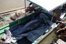 Seekor Pesut Ditemukan Mati di Sungai Mahakam, Diduga Terjerat Jaring Nelayan