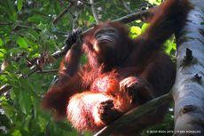 Kabar Baik, 3 Orangutan Dilepasliarkan di Hutan Kalimantan Timur