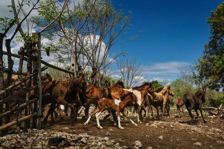 Ilustrasi sekumpulan kuda liar di Indonesia.