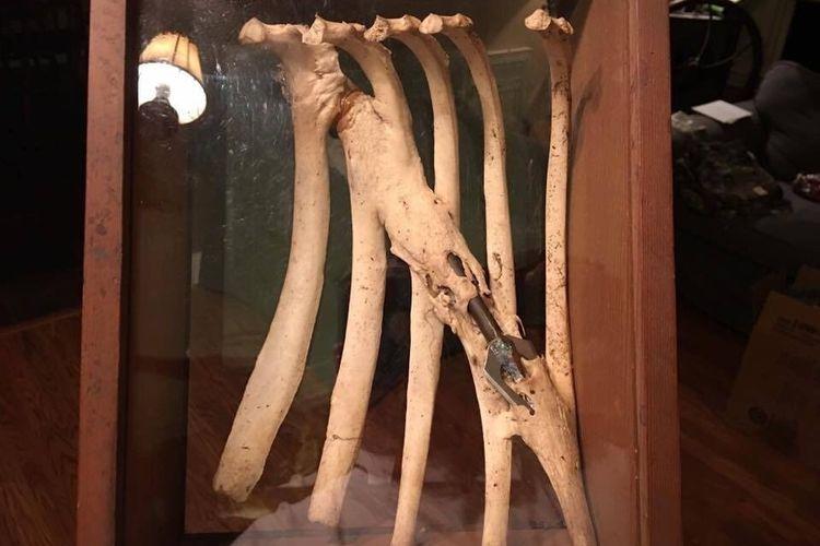 Anak panah menancap pada rusuk rusa dan terbungkus tulang
