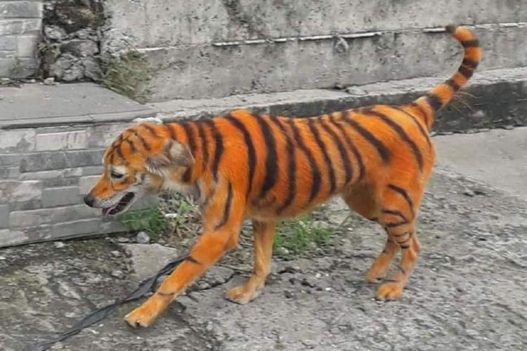 Foto anjing yang dicat mirip harimau di Malaysia menjadi viral. Persatuan Haiwan Malaysia janjikan hadiah bagi siapa pun yang bisa menangkap pelaku.