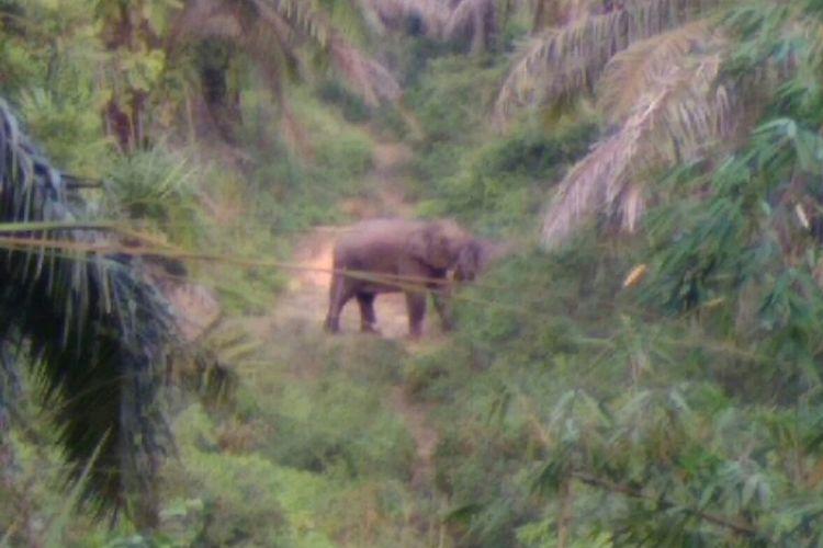 Gajah liar masuk ke kawasan perkebunan warga di kawasan perbatasan Pekanbaru