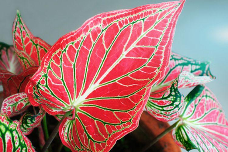 Tanaman Caladium bicolor atau keladi merah.