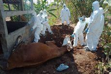 60 Ternak di Gunungkidul Mati Mendadak Sejak Desember 2019, 6 karena Antraks