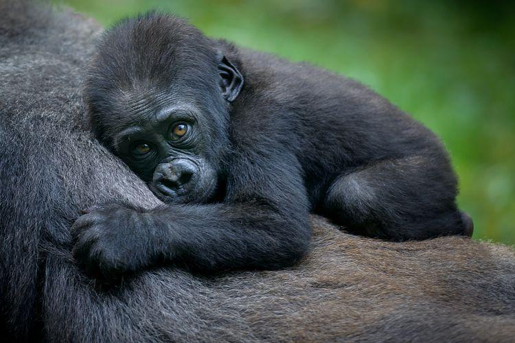 Bayi gorila.