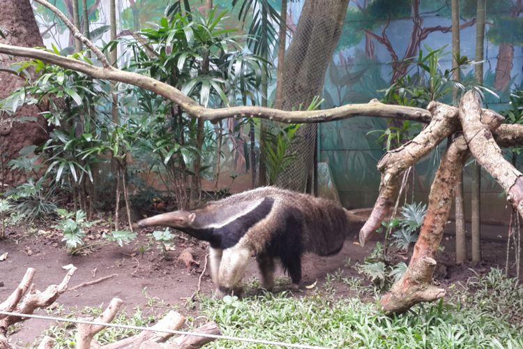 Giant anteater, satwa mamalia asal Amerika Selatan dan Amerika Tengah yang menjadi koleksi baru Batu Secret Zoo, Minggu (2/4/2017).