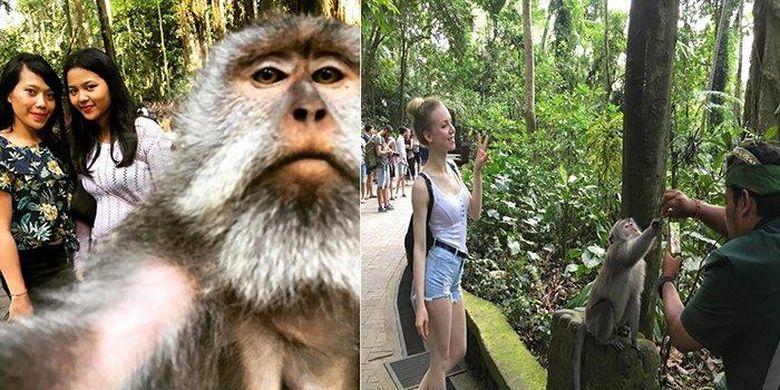Wisatawan saat sedang melakukan mongkey seflie di objek wisata Monkey Forest Ubud. Foto ini memberi kesan seakan-akan kera yang membawa ponsel wisatawan.