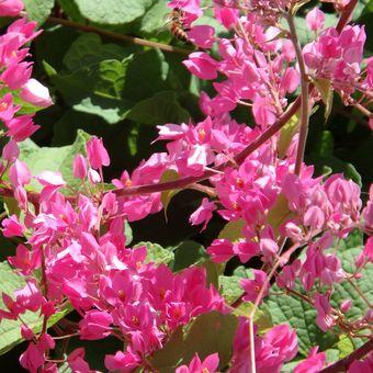 Ilustrasi bunga coral vine.