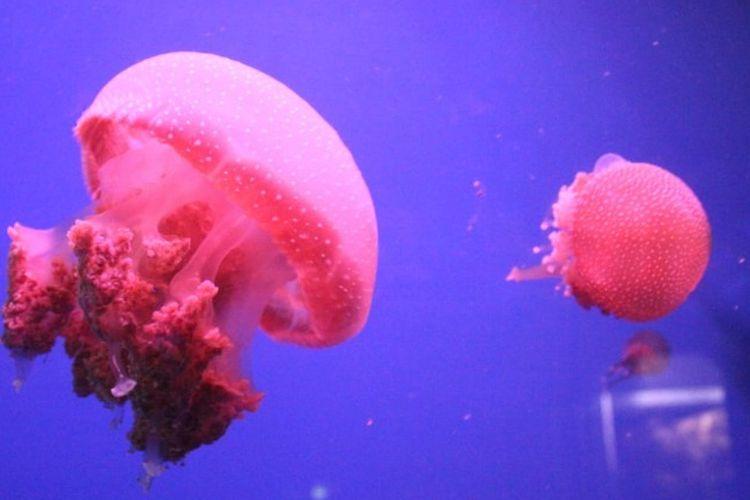 Koleksi ubur-ubur di akuarium Seaworld Ancol, Jakarta Utara.
