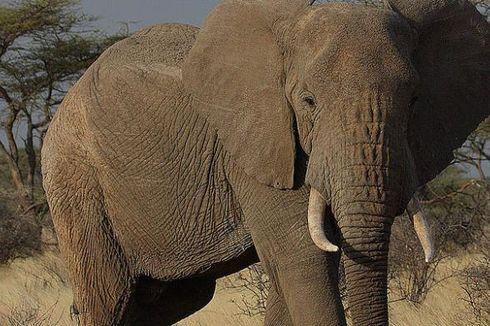 Berita Harian Gajah Terbaru Hari Ini 2 Kompas Com