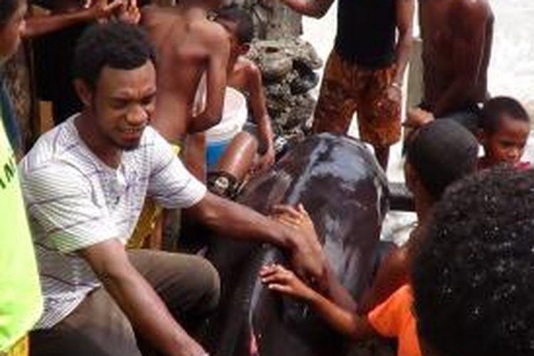 Ikan Paus Bungkuk yang diselamatkan oleh warga saat terdampar di pantai Pertamina Wosi, Manokwari, Papua Barat, Selasa (12/11/2013)