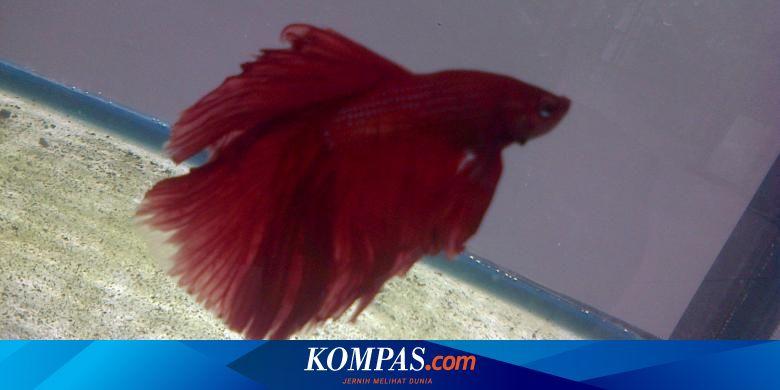 Sering Juara Harga Ikan Cupang Ini Capai Rp 15 Juta