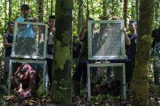 Taman Nasional Bukit Raya Jadi Rumah Baru Bagi Orangutan