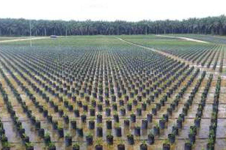 Bibit unggul kelapa sawit milik PT Musim Mas, perusahaan yang sudah mendapatkan sertifikat RSPO, di Kabupaten Pelawatan, Provinsi Riau.