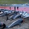 Dunia Kecam Pembantaian Lebih dari 1.400 Lumba-Lumba di Kepulauan Faroe