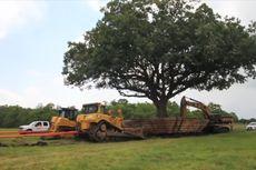 Kisah Sukses Kota League di Texas Pindahkan Pohon Tua, Dapatkah Jakarta Menirunya?