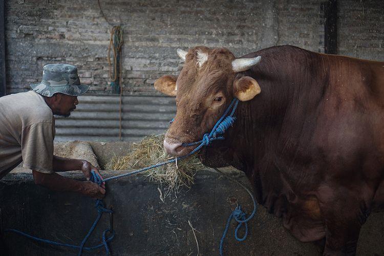 Pekerja memberi makan sapi yang dibeli Presiden Joko Widodo untuk kurban Idul Adha di Polokarto, Sukoharjo, Jawa Tengah, Jumat (24/7/2020). Presiden Joko Widodo membeli sapi jenis limusin dengan berat 1,03 ton tersebut untuk disembelih pada Hari Raya Idul Adha 144! Hijriah di Masjid Agung Solo.
