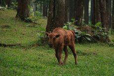 Tiga Bayi Bison Eropa dan Amerika Hadir di Taman Safari Prigen