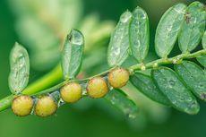 Manfaat Tanaman Herbal, Lawan Covid-19 Juga Bikin Awet Muda